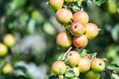 Garden apple tree with red apples Stock Photos