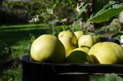 Garden apples in drover Royalty Free Stock Images