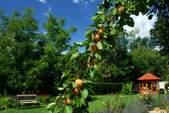 Garden with apricots and gazbo Stock Photos