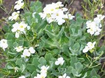 Garden arabis (Arabis caucasica). Colorful and crisp image of garden arabis (Arabis caucasica Stock Images