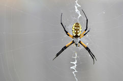 Garden Arachnid Sits on a Web Royalty Free Stock Photography