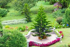 Garden with araucaria plant. Garden with  araucaria plant also called Norfolk pine Stock Images