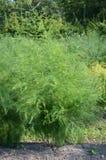 Garden Asparagus (Asparagus officinalis) Royalty Free Stock Photography