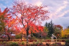 Garden in autumn at Fujikawaguchiko, Japan. Garden in autumn at Fujikawaguchiko, a resort town on the side of Lake Kawaguchi close to Mount Fuji, Japan royalty free stock photos