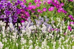 Garden background. Lavender garden in Sequim, Olympic peninsula, Washington Royalty Free Stock Photos