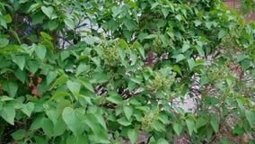 Garden background with a syringa buds, lilac flowers syringa vulgaris stock footage