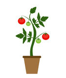 Garden Background Vector Illustration. Growing Bush of Tomatoes. Plant in Modern Flat Style. EPS10r Royalty Free Stock Photography
