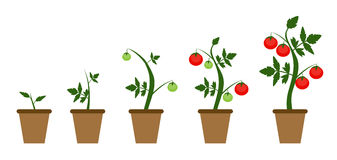 Garden Background Vector Illustration. Growing Bush of Tomatoes. Plant in Modern Flat Style. EPS10r stock illustration