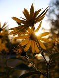 Garden: backlit yellow sunflowers Royalty Free Stock Photos