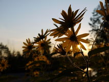 Garden: backlit yellow sunflowers - h Stock Photos