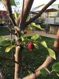 Garden. Backyard tree redfruit leaf Stock Images
