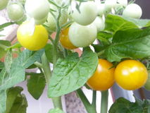 A garden in the balcony. Mini tomatoes. Mini tomatoes are very good choice if you want to have a balcony garden. These yellow tomatoes are very productive Stock Photo
