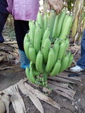 Garden of banana farmers or organic. Growth of big J good taste Puuee Japan's exports. Toxic Growing in Chiang Mai, the Raa row is equal to both Royalty Free Stock Photos