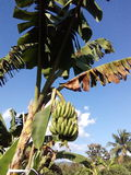 Garden of banana farmers or organic. Growth of big J good taste Puuee Japan's exports. Toxic Growing in Chiang Mai, the Raa row is equal to both Royalty Free Stock Images