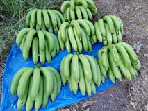 Garden of banana farmers or organic Stock Images