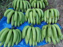 Garden of banana farmers or organic. Growth of big J good taste Puuee Japan's exports. Toxic Growing in Chiang Mai, the Raa row is equal to both Stock Photo