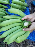 Garden of banana farmers or organic. Growth of big J good taste Puuee Japan's exports. Toxic Growing in Chiang Mai, the Raa row is equal to both Stock Photos