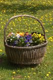 Garden basket. Basket with flowers standing in the garden Stock Photography