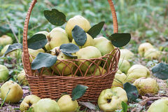 Garden basket full of fresh quince fruits close-up view Royalty Free Stock Photo