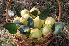 Garden basket full of fresh quince fruits close-up view Stock Photos