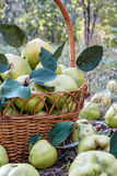 Garden basket full of fresh quince fruits close-up view Royalty Free Stock Photography
