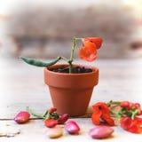 Garden bean in plant pot Stock Image