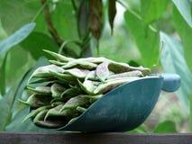 Garden Beans Stock Image