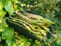 Garden Beans Royalty Free Stock Photos