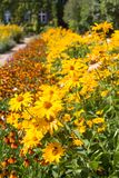 Garden with beautiful flowerbed of yellow Heliopsis Royalty Free Stock Images