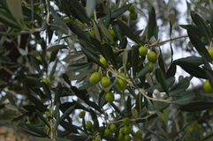 Garden. Beautiful olive tree in Italy at the Garda Lake Stock Image
