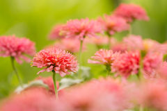 Garden of  beautiful pink zinnia Stock Photography