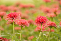 Garden of  beautiful pink zinnia Royalty Free Stock Image