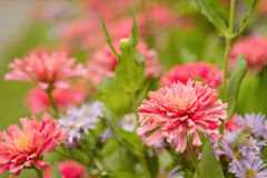 Garden of  beautiful pink zinnia Royalty Free Stock Image