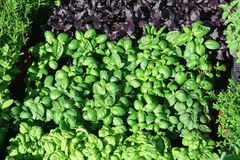Garden bed with basil Stock Photo