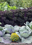 Garden bed with cabage and kale. Garden bed with cabbage kale and tagetes flowers Stock Image