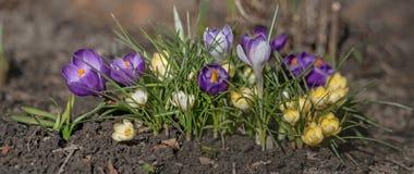 Garden bed with crocuses Stock Photo
