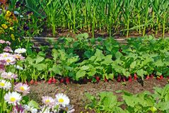 Garden bed and flowers. Garden bed with red radish, garlic and flowers Stock Images