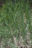 Garden bed green onion closeup Royalty Free Stock Photos