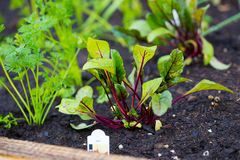 Garden Bed Organic Beets. Organic beets in a garden bed freshly planted in the nice soil Stock Photo