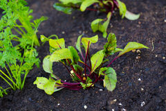 Garden Bed Organic Beets Stock Photo