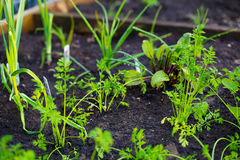 Garden Bed Organic Carrots Royalty Free Stock Photo