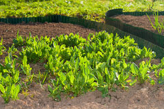 Garden Beds. With fresh green plants Stock Images