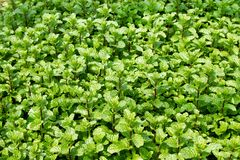 Garden beds with green leaves of mint. Garden beds with green leaves of mint, top view Royalty Free Stock Photo