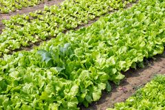 Garden beds with green salad and cabbage. Garden beds with green salad and cabbage on a farm Royalty Free Stock Photo