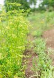 Garden beds of parsley and arugula. Plants for salad, fresh vegetables from the garden royalty free stock photography