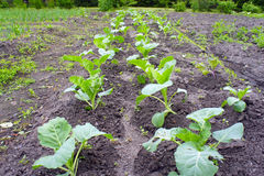 The Garden beds with seedlings of cabbage in spring Royalty Free Stock Photos
