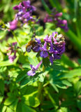 In the garden bees collect honey from flowers. Garden bees collect honey from flowers Royalty Free Stock Photo
