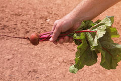 Garden Beet Royalty Free Stock Images
