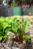 Vegetable garden: beet plant and compost bin. Beet plant, lettuce growing in raised bed garden with compost bin in background Stock Photography