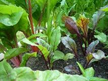 Vegetable garden: beet plants. Beet plants and red chard growing in home vegetable garden Stock Images